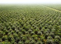PLN want regulation on palm trade to get priority on domestic use for biomass projects